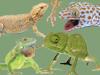 Fichas Generales - Lagartos, Camaleones, Agámidos y Geckos